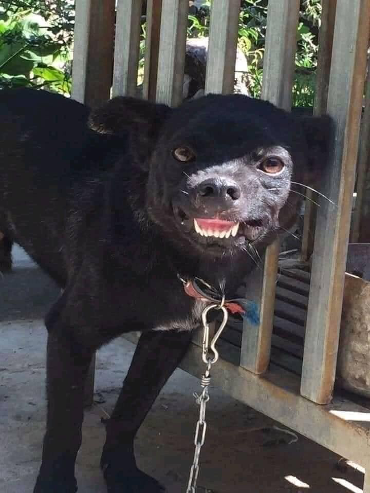 Black dog smiles unpleasantly
