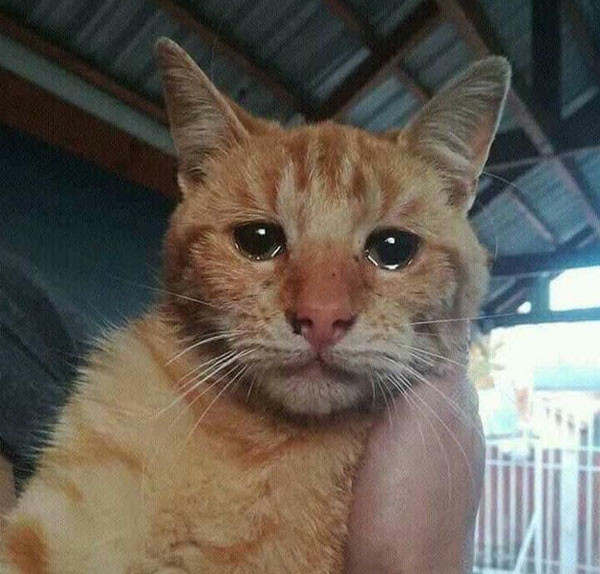 Cat crying meme