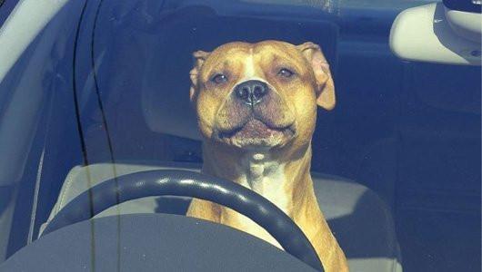 Dog driving car meme - drive like a dog